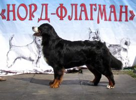 Russian Junior Champion, Russian Champion, Club Winner, Best Male - Sennenfest - 2013 HD-A, ED-0. DM - NNGRAND BONHEUR DU HARAS DE LA VERGNE - Junior Champion of Russia. Champion Russia, RKF. HD-A ED-0 ALPINE JOY VENEZIA